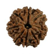 Natural 8 Mukhi (Eight Mukhi) Nepali Rudraksha GJSPC Certified 19.16 M.M.