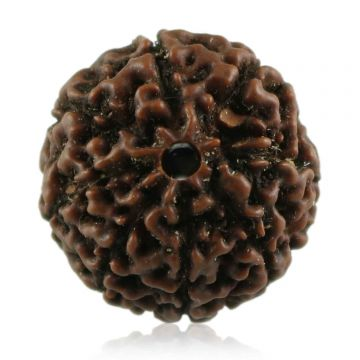 Natural 7 Mukhi Rudraksha Indonesia GJSPC Certified 20.24 M.M.