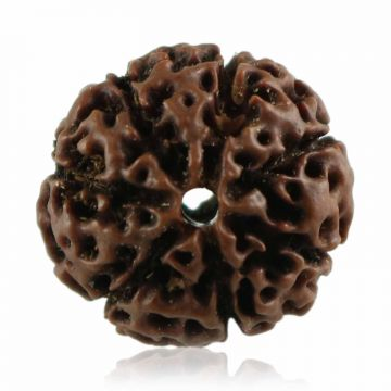 Natural 7 Mukhi Rudraksha Indonesia GJSPC Certified 21.91 M.M.